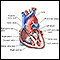 Heart, section through the middle
